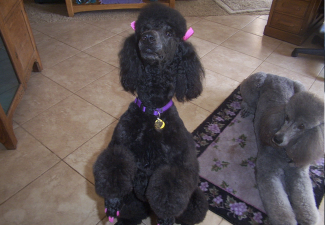 adult standard poodle for sale